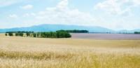 """Wheat field near D8, Plateau de Valensole, Alpes-de-Haute-Provence, Provence-Alpes-Cote d'Azur, France by Panoramic Images - 25"""" x 12"""""""
