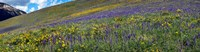 """Hillside with yellow sunflowers and purple larkspur, Crested Butte, Gunnison County, Colorado, USA by Panoramic Images - 46"""" x 12"""""""