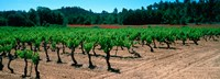 """Vineyards and red poppies in summer morning light, Provence-Alpes-Cote d'Azur, France by Panoramic Images - 33"""" x 12"""""""