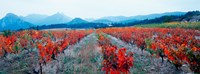"""Vineyards in autumn, Provence-Alpes-Cote d'Azur, France by Panoramic Images - 33"""" x 12"""" - $34.99"""