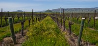 "Mustard plants growing in a vineyard, Edna Valley, San Luis Obispo County, California, USA by Panoramic Images - 26"" x 12"""