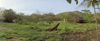 """Komodo Dragon (Varanus komodoensis) in a field, Rinca Island, Indonesia by Panoramic Images - 29"""" x 12"""""""