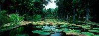 """Lily pads floating on water, Pamplemousses Gardens, Mauritius Island, Mauritius by Panoramic Images - 33"""" x 12"""", FulcrumGallery.com brand"""