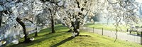 """Cherry blossom in St. James's Park, City of Westminster, London, England by Panoramic Images - 36"""" x 12"""""""