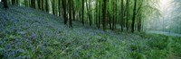 """Bluebell Wood near Beaminster, Dorset, England by Panoramic Images - 36"""" x 12"""""""