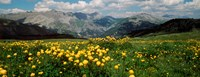 """Blooming buttercup flowers in a field, Champs Pass, France by Panoramic Images - 31"""" x 12"""", FulcrumGallery.com brand"""