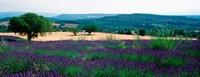 """Lavender growing in a  field, Provence-Alpes-Cote d'Azur, France by Panoramic Images - 31"""" x 12"""""""