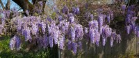 Wisteria flowers in bloom, Sonoma, California, USA Fine Art Print