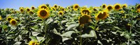 Sunflower field, California, USA Fine Art Print