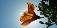 """Close-up of a Hibiscus flower in bloom, Oakland, California, USA by Panoramic Images - 24"""" x 12"""""""