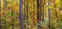 """Trees in autumn, Baden-Wurttemberg, Germany by Panoramic Images - 26"""" x 12"""""""