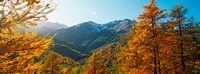 "Larch trees in autumn at Simplon Pass, Valais Canton, Switzerland by Panoramic Images - 32"" x 12"""