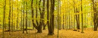 """Forest in autumn, Letchworth State Park, New York State, USA by Panoramic Images - 31"""" x 12"""""""