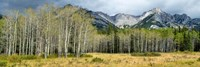 Aspen trees with mountains in the background, Bow Valley Parkway, Banff National Park, Alberta, Canada by Panoramic Images - various sizes