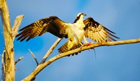 """Osprey (Pandion haliaetus) with spread wings perching on a branch by Panoramic Images - 20"""" x 12"""", FulcrumGallery.com brand"""