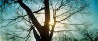 Sunlight shining through a bare tree, Prospect Park, Brooklyn, Manhattan, New York City, New York State, USA Fine Art Print