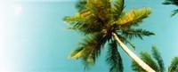 "Low angle view of palm tree, Morro De Sao Paulo, Tinhare, Cairu, Bahia, Brazil by Panoramic Images - 30"" x 12"", FulcrumGallery.com brand"