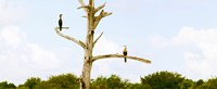 "Low angle view of Cormorants (Phalacrocorax carbo) on a tree, Boynton Beach, Florida, USA by Panoramic Images - 29"" x 12"""