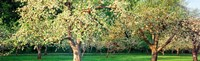 "Apple orchard, Quebec, Canada by Panoramic Images - 39"" x 12"""