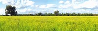 """Crop in a field, Saint-Blaise-sur-Richelieu, Quebec, Canada by Panoramic Images - 38"""" x 12"""""""