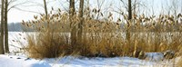 """Plants in a snow covered field, Saint-Blaise-sur-Richelieu, Quebec, Canada by Panoramic Images - 33"""" x 12"""", FulcrumGallery.com brand"""
