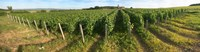 "Beaujolais vineyard, Montagny, Saone-Et-Loire, Burgundy, France by Panoramic Images - 46"" x 12"""