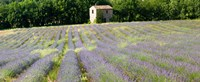 "Barn in the lavender field, Luberon, Provence, France by Panoramic Images - 29"" x 12"""