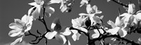 Asian Magnolia Blossoms CA by Panoramic Images - various sizes