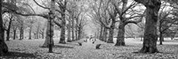 Trees along a footpath in a park, Green Park, London, England (black and white) by Panoramic Images - various sizes