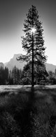 Sun Behind Pine Tree, Half Dome, Yosemite Valley, California, USA Framed Print