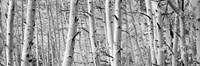 Aspen trees in Winter, Rock Creek Lake, California Fine Art Print