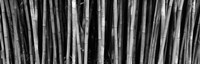 Bamboo trees in a botanical garden, Kanapaha Botanical Gardens, Gainesville, Alachua County, Florida (black and white) Fine Art Print