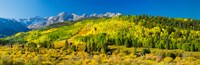 Aspen trees on mountains, Uncompahgre National Forest, Colorado by Panoramic Images - various sizes