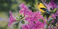 Goldfinch In Azaleas Fine Art Print