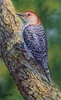 Red Bellied Woodpecker Fine Art Print