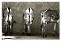 Zebra Butts Fine Art Print