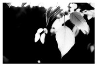 White Leaves Fine Art Print