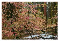 Dogwoods & Sequoia Fine Art Print