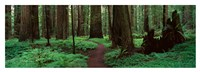Redwoods Path Fine Art Print