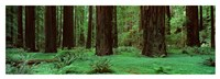 Redwoods, Rolph Grove Fine Art Print