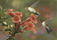 Hummingbirds and Trumpet Flowers Fine Art Print