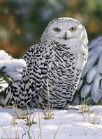 Snowy Owl Fine Art Print