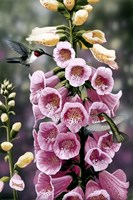 Hummingbirds - Foxgloves Fine Art Print
