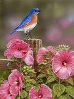 Bluebird With Hibiscus Framed Print