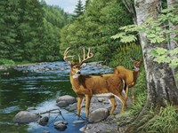 Streamside - White Tail Deer Fine Art Print
