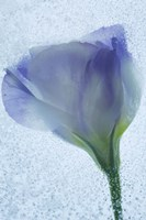 Flowers on Ice-14 Fine Art Print