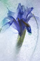 Flowers on Ice-6 Fine Art Print