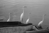 Garzas BW-8 by Moises Levy - various sizes