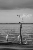 Garzas-1 by Moises Levy - various sizes