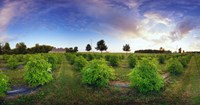 Elderberry field, Quebec, Canada by Panoramic Images - various sizes